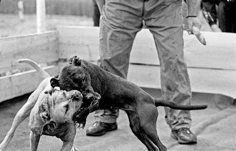 Бойцовские породы псов