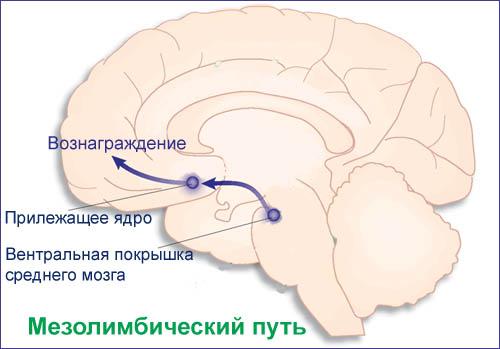 Центр удовольствия в мозге секс