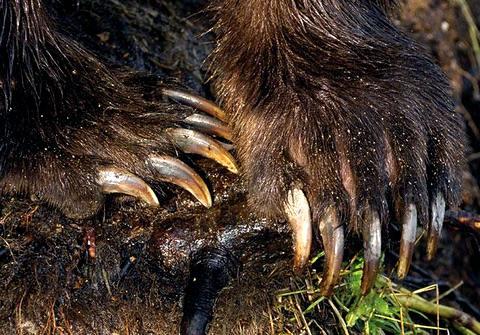Лапы медведя трепанг женьшень и